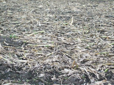 cornfields No.1 -9
